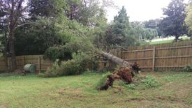 Large pine tree came down